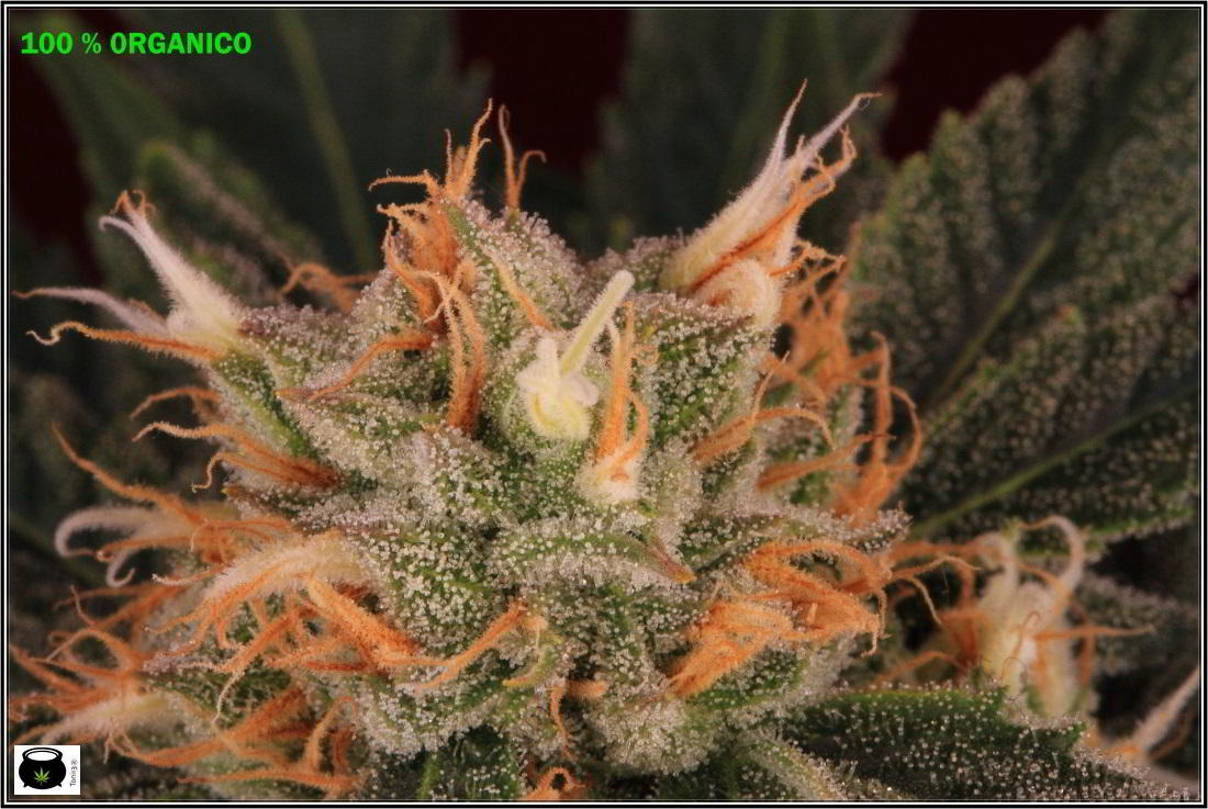 Variedad de marihuana MK ultra 5