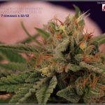 19- 30-1-2014 Variedad de marihuana Shiskaberry, 7 semanas a 12/12
