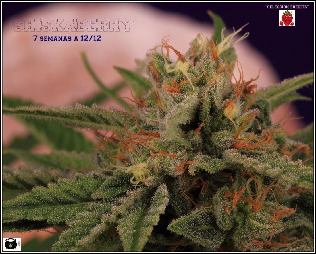 19- 30-1-2014 Variedad de marihuana Shiskaberry, 7 semanas a 12/12 1