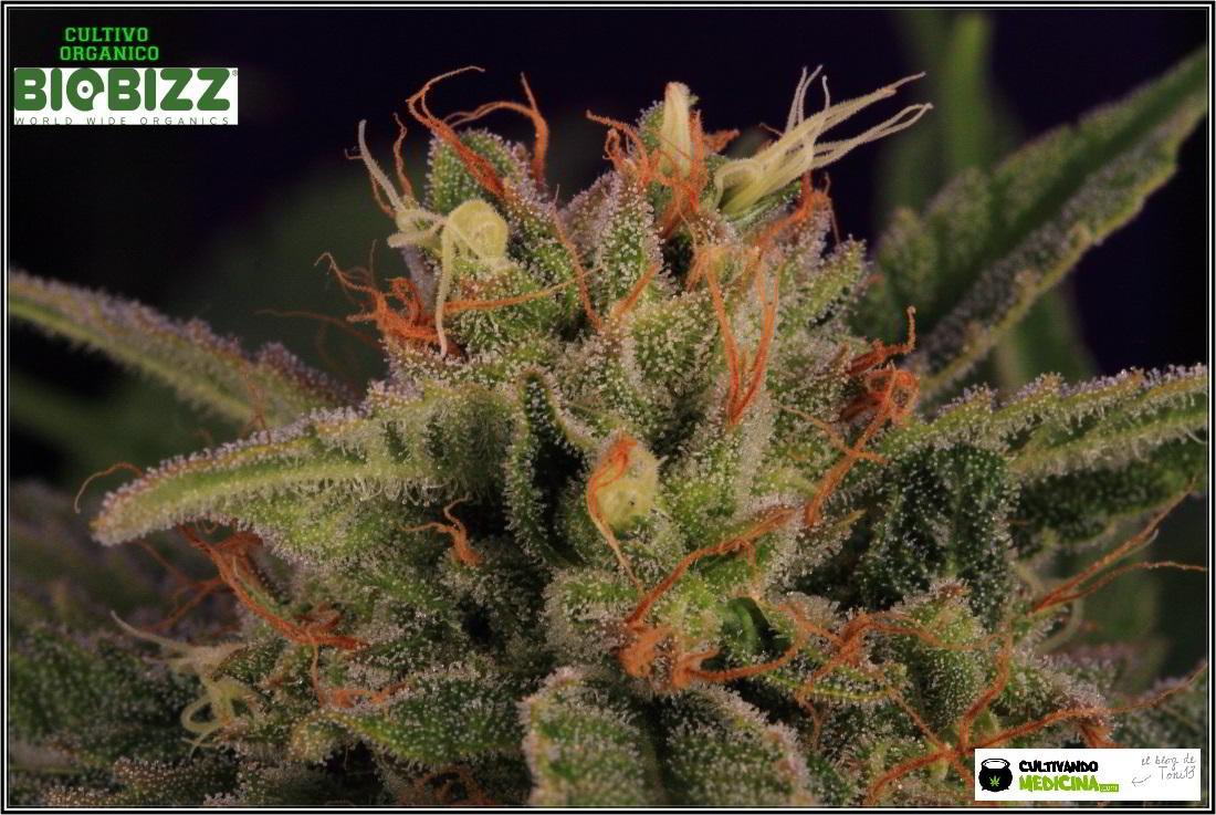 19- 30-1-2014 Variedad de marihuana Shiskaberry, 7 semanas a 12/12 3