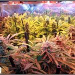 20- 31-1-2014 Vista general del cultivo de marihuana, 50 días a 12/12