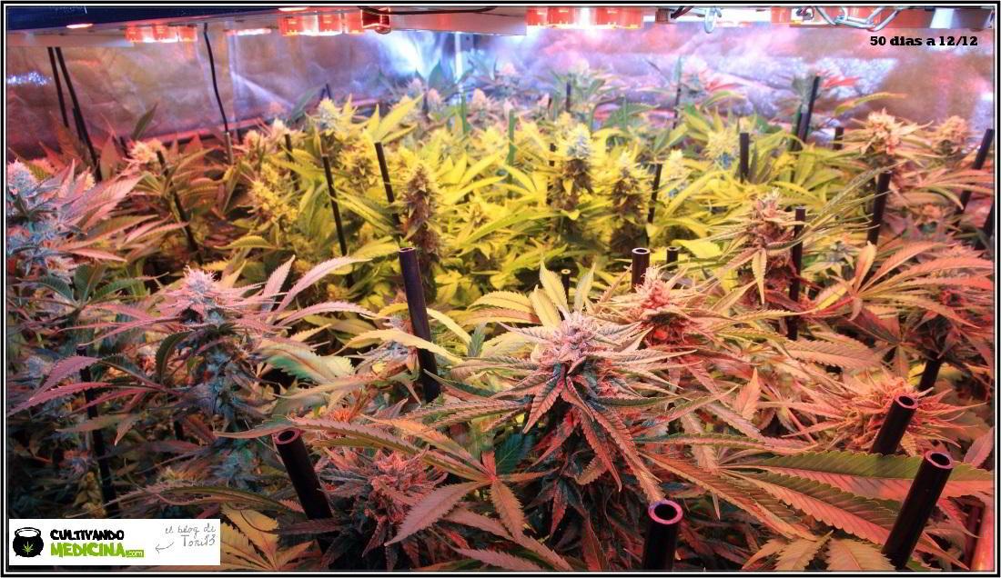 20- 31-1-2014 Vista general del cultivo de marihuana, 50 días a 12/12 3