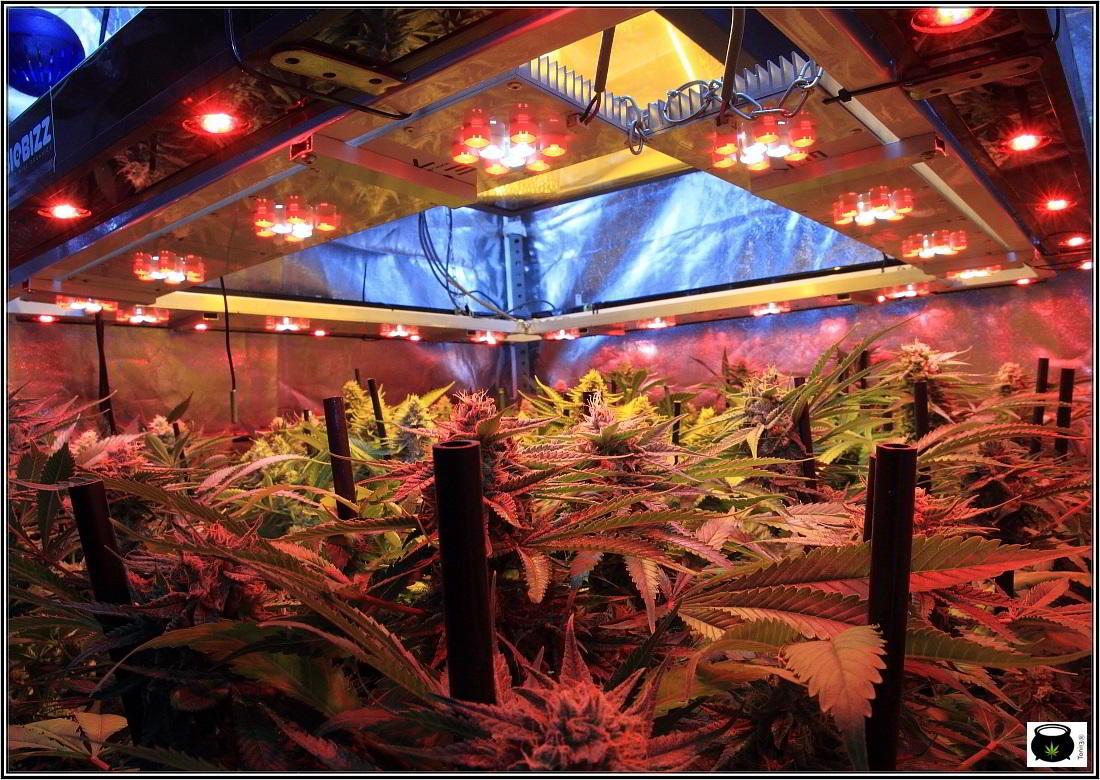 20- 31-1-2014 Vista general del cultivo de marihuana, 50 días a 12/12 4