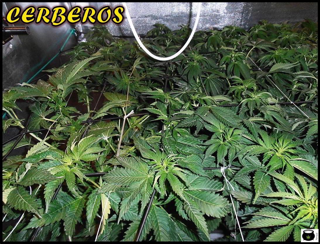 SCROG de un cultivo de marihuana de interior 3