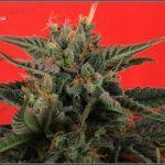 23- 3-2-2014 Variedad de marihuana Shiskaberry, 53 días a 12/12