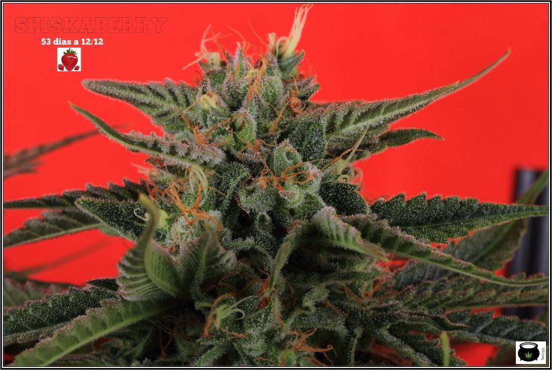 Variedad de marihuana Shiskaberry en cultivo 1