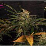 26- 7-2-2014 Variedad de marihuana Shiskaberry, cosechada con 56 días a 12/12