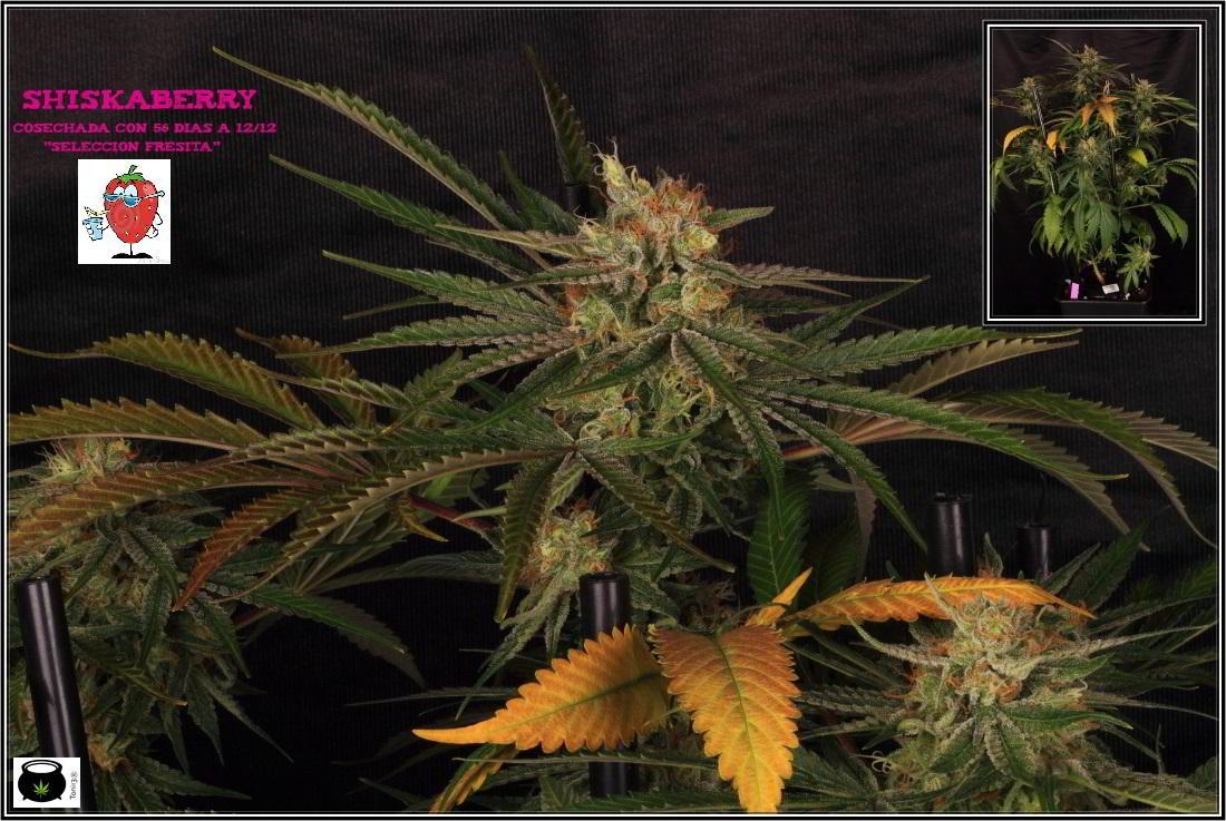 26- 7-2-2014 Variedad de marihuana Shiskaberry, cosechada con 56 días a 12/12 1