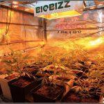 4- Cultivo de marihuana orgánico Recoco, 3 días a 12/12