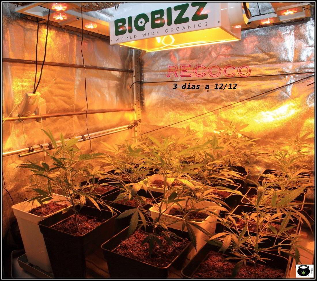 4- Cultivo de marihuana orgánico Recoco, 3 días a 12/12 1