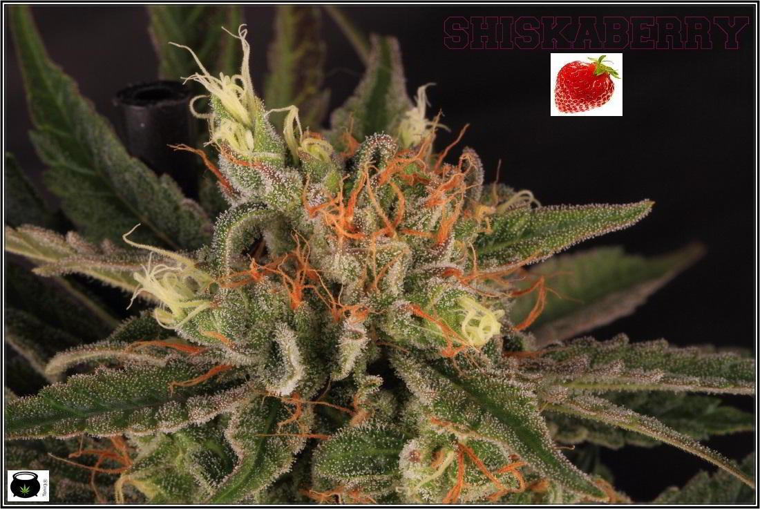 26- 7-2-2014 Variedad de marihuana Shiskaberry, cosechada con 56 días a 12/12 2