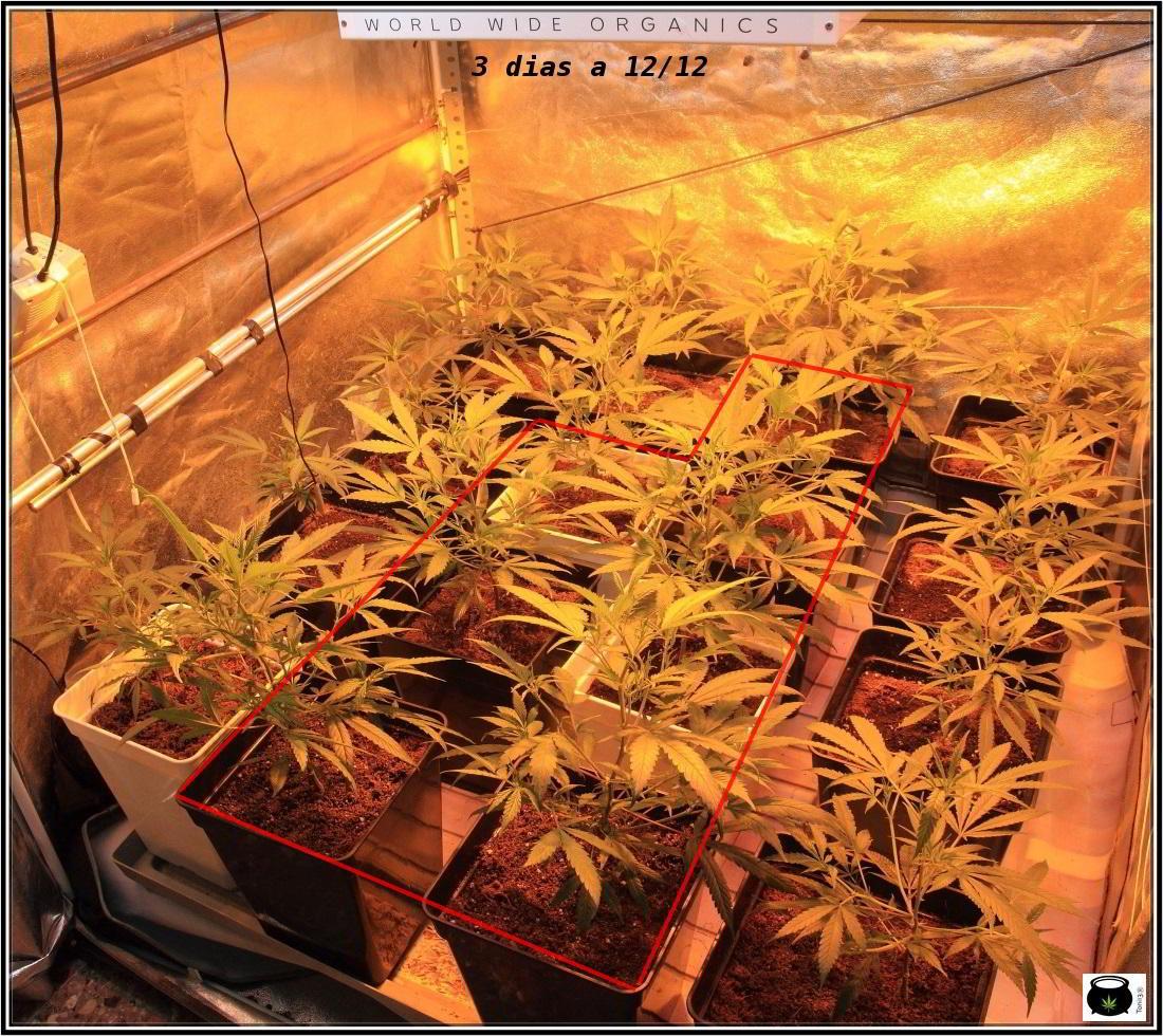 4- Cultivo de marihuana orgánico Recoco, 3 días a 12/12 2