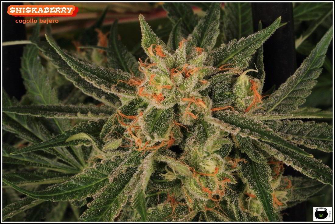 26- 7-2-2014 Variedad de marihuana Shiskaberry, cosechada con 56 días a 12/12 4