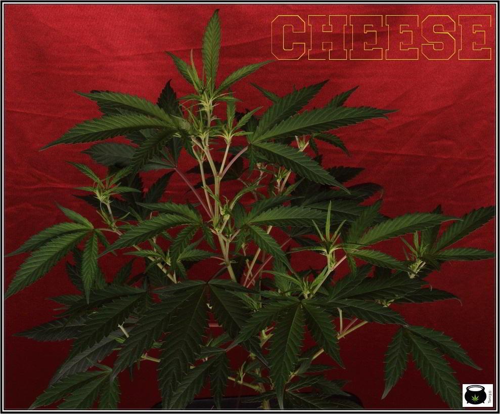 """5- Actualización cultivo de marihuana orgánico """"recoco"""", 8 días a 12/12 4"""