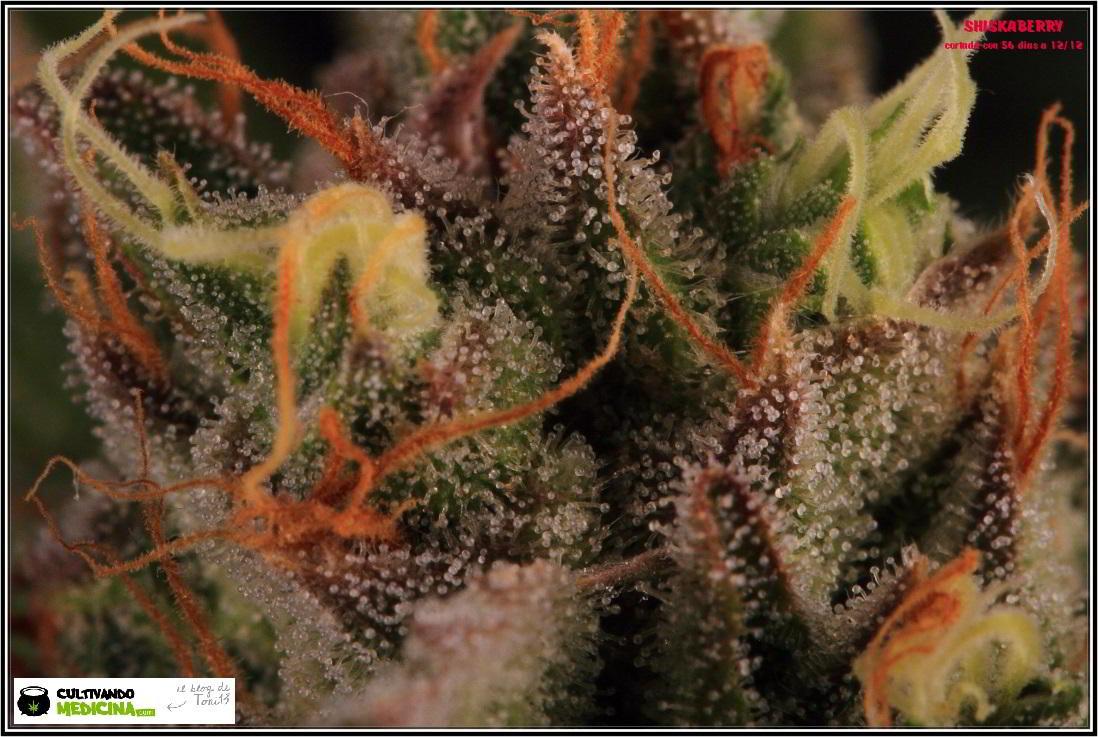 26- 7-2-2014 Variedad de marihuana Shiskaberry, cosechada con 56 días a 12/12 5