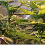 Supercropping – Técnica de cultivo en cultivos de marihuana paso a paso