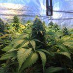 SOG (Sea Of Green) – Técnica de cultivo para el cultivo de marihuana