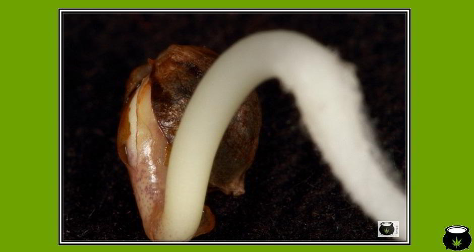 slide semilla de marihuana hembra