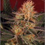 21- 1-2-2014 Variedad de marihuana Lavender, 51 días a 12/12