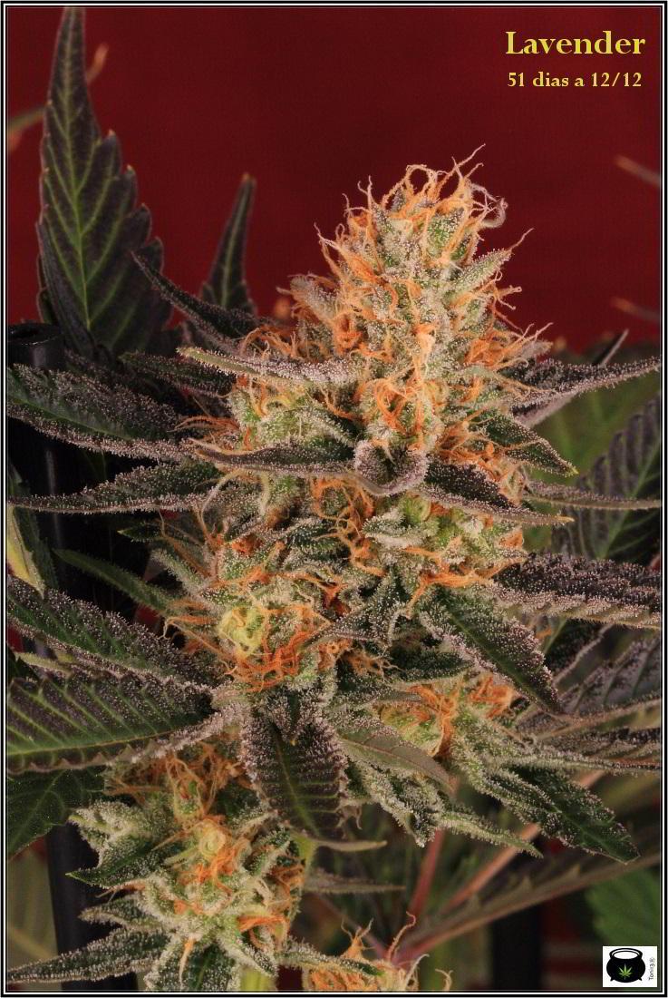 21- 1-2-2014 Variedad de marihuana Lavender, 51 días a 12/12 1