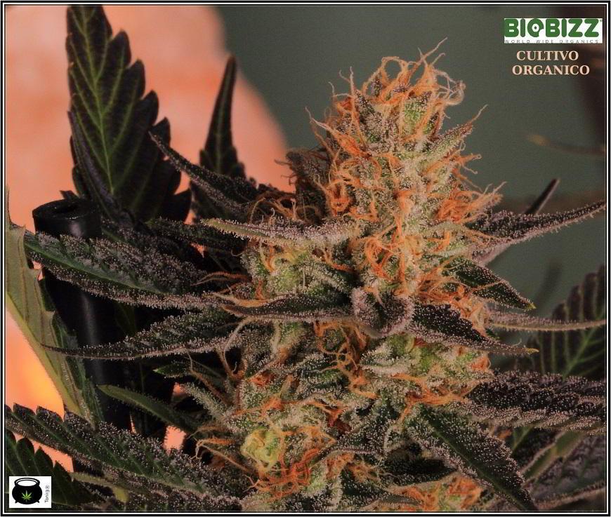 21- 1-2-2014 Variedad de marihuana Lavender, 51 días a 12/12 2