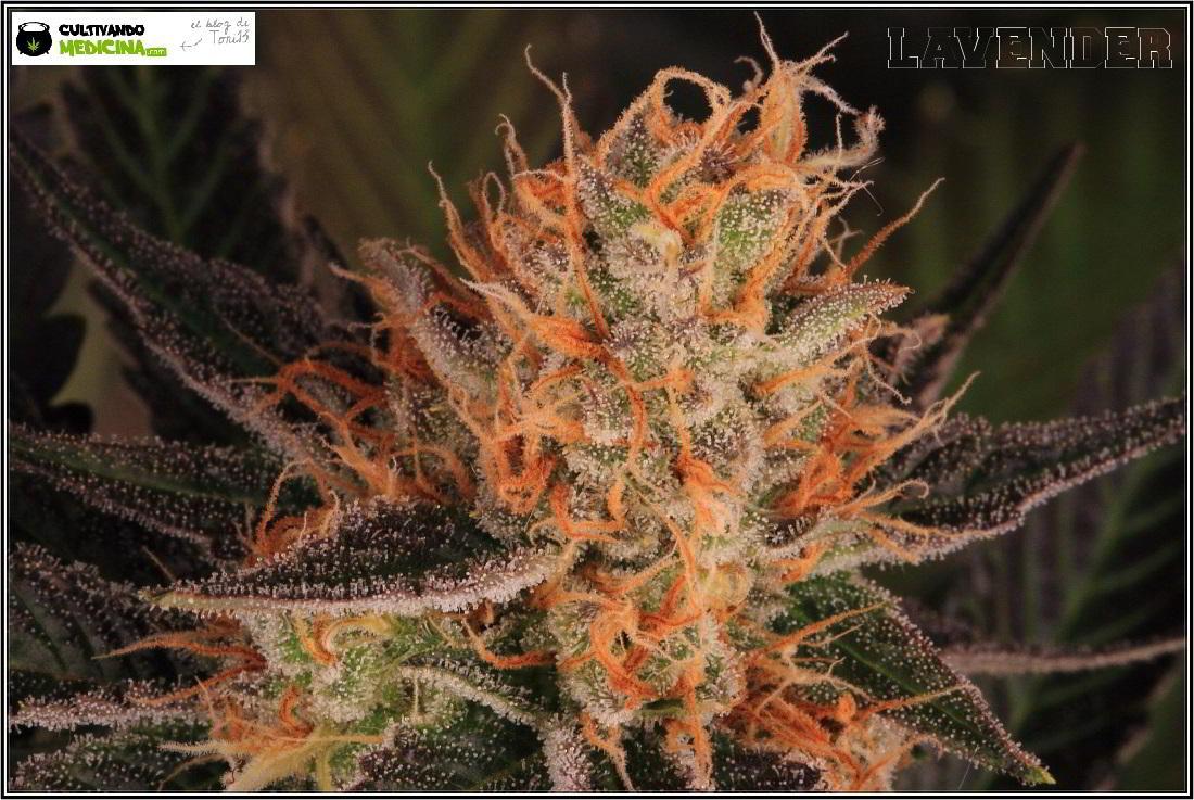 21- 1-2-2014 Variedad de marihuana Lavender, 51 días a 12/12 3