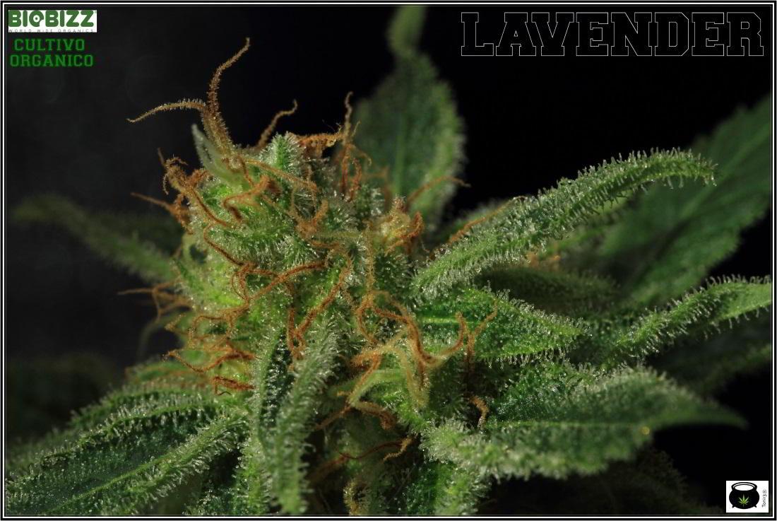 Cogollo bajero de variedad de marihuana lavender 3
