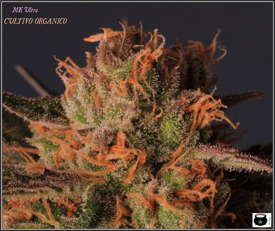 variedad de marihuana MK Ultra en cultivo interior 2