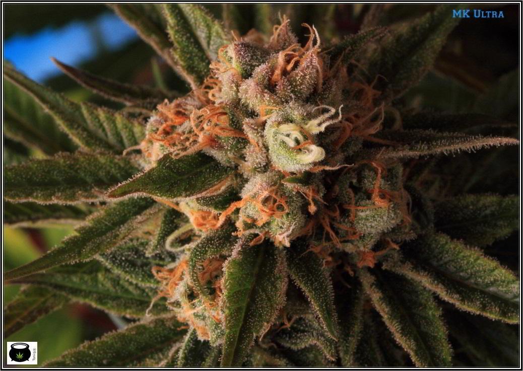 Cómo cambiar el fotoperiodo del cultivo de marihuana: Fotoperiodo cultivo de marihuana.