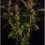25- 6-2-2014 Platanito de supervivencia en plantas de marihuana