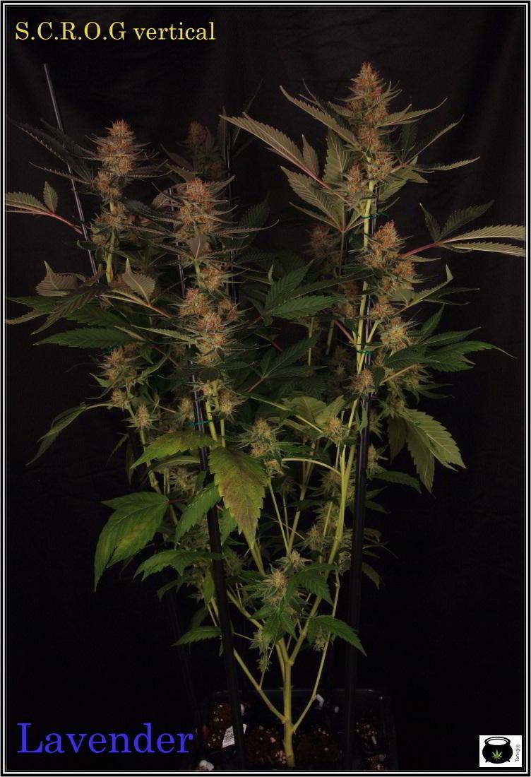 Lavender soma seeds seleccion tintin cultivo marihuana poda apical y supercropping