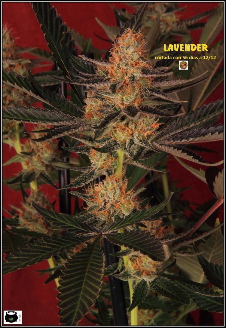 planta de marihuana con SCROG vertical 2