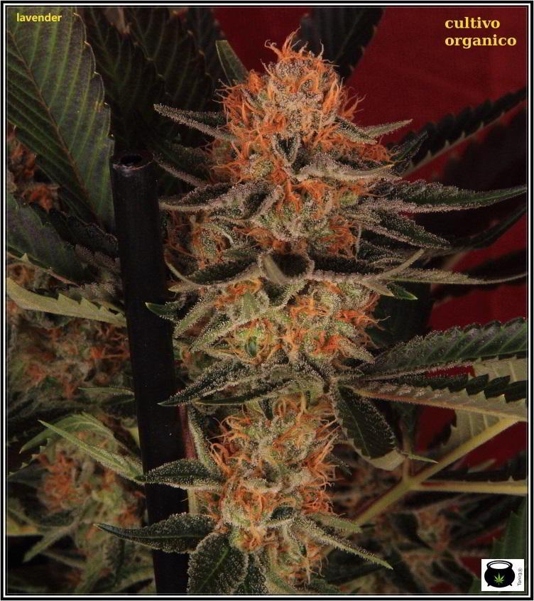 25- 6-2-2014 Platanito de supervivencia en plantas de marihuana 3