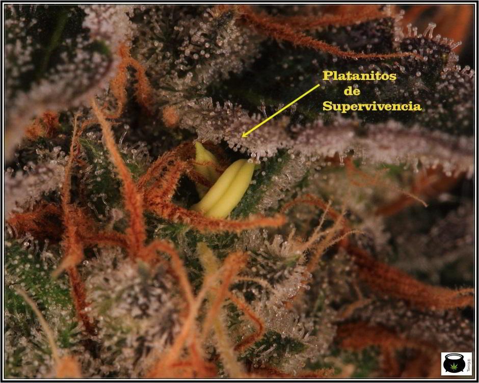 25- 6-2-2014 Platanito de supervivencia en plantas de marihuana 4