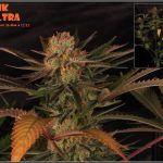 27- 8-2-2014 Variedad de marihuana MK Ultra, cortada con 56 días a 12/12