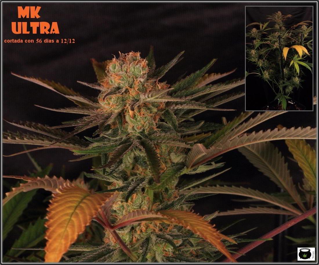 27- 8-2-2014 Variedad de marihuana MK Ultra, cortada con 56 días 1