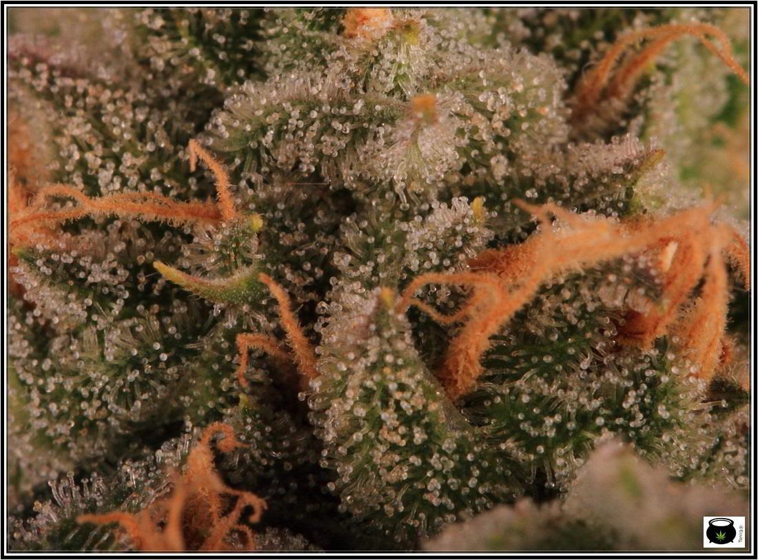 27- 8-2-2014 Variedad de marihuana MK Ultra, cortada con 56 días 7