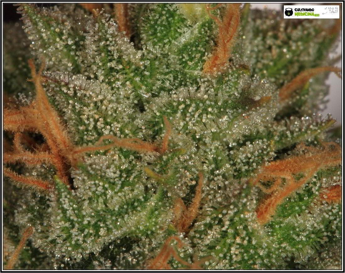 27- 8-2-2014 Variedad de marihuana MK Ultra, cortada con 56 días 8