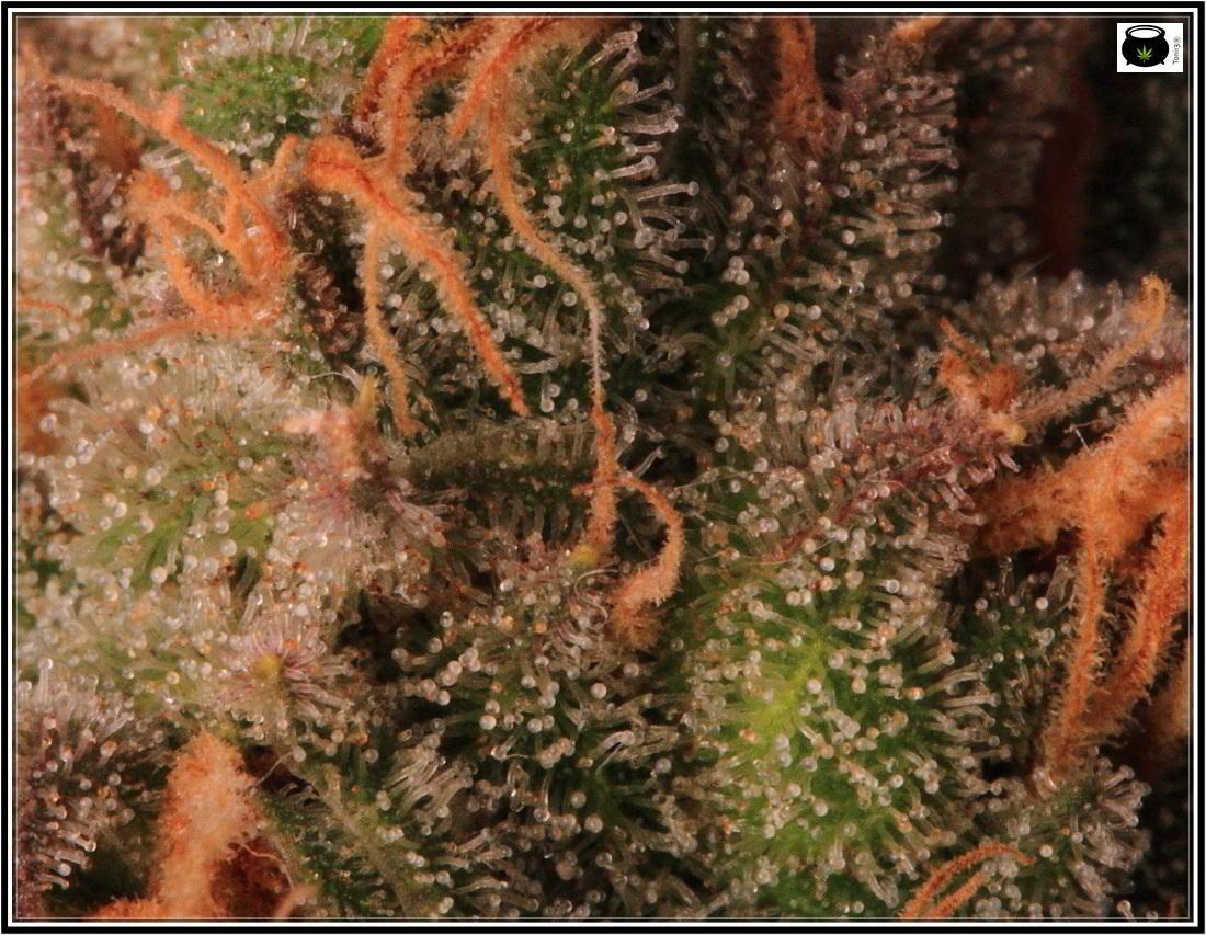 27- 8-2-2014 Variedad de marihuana MK Ultra, cortada con 56 días 9