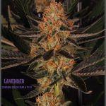 28- 9-2-2014 Colorin, colorado, el cultivo de marihuana Doble-Mix ha finalizado