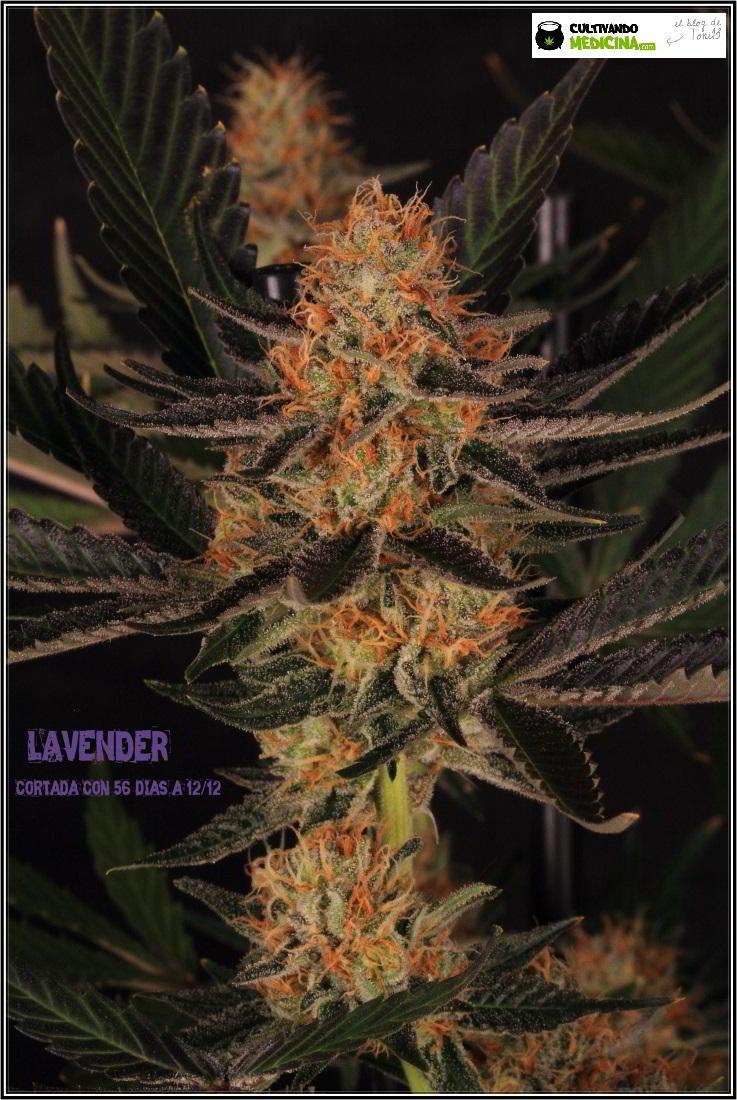 28- 9-2-2014 El cultivo de marihuana Doble-Mix ha finalizado 1