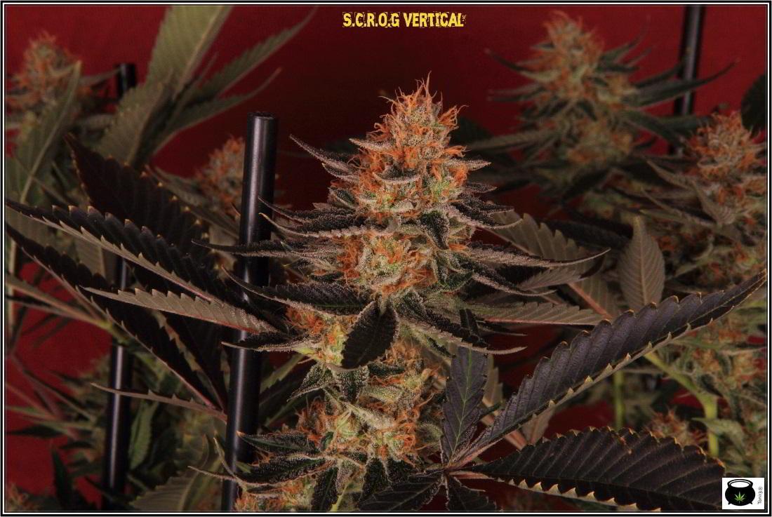 28- 9-2-2014 El cultivo de marihuana Doble-Mix ha finalizado 2