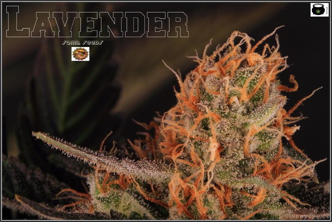 cannabis legalización