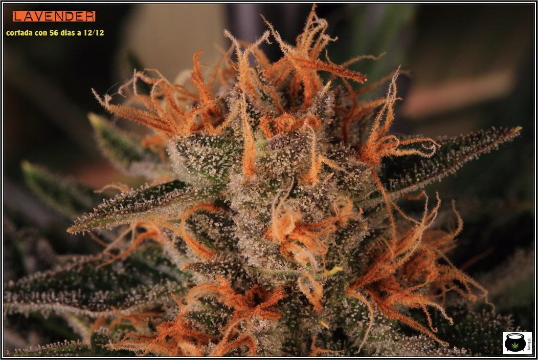 28- 9-2-2014 El cultivo de marihuana Doble-Mix ha finalizado 5