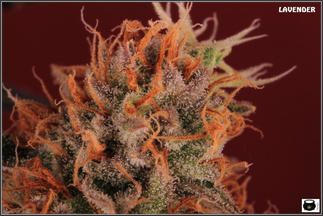 28- 9-2-2014 El cultivo de marihuana Doble-Mix ha finalizado 6