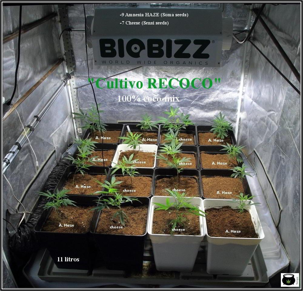 1- Comienza el cultivo de marihuana orgánico Organicoco 2: Recoco  1