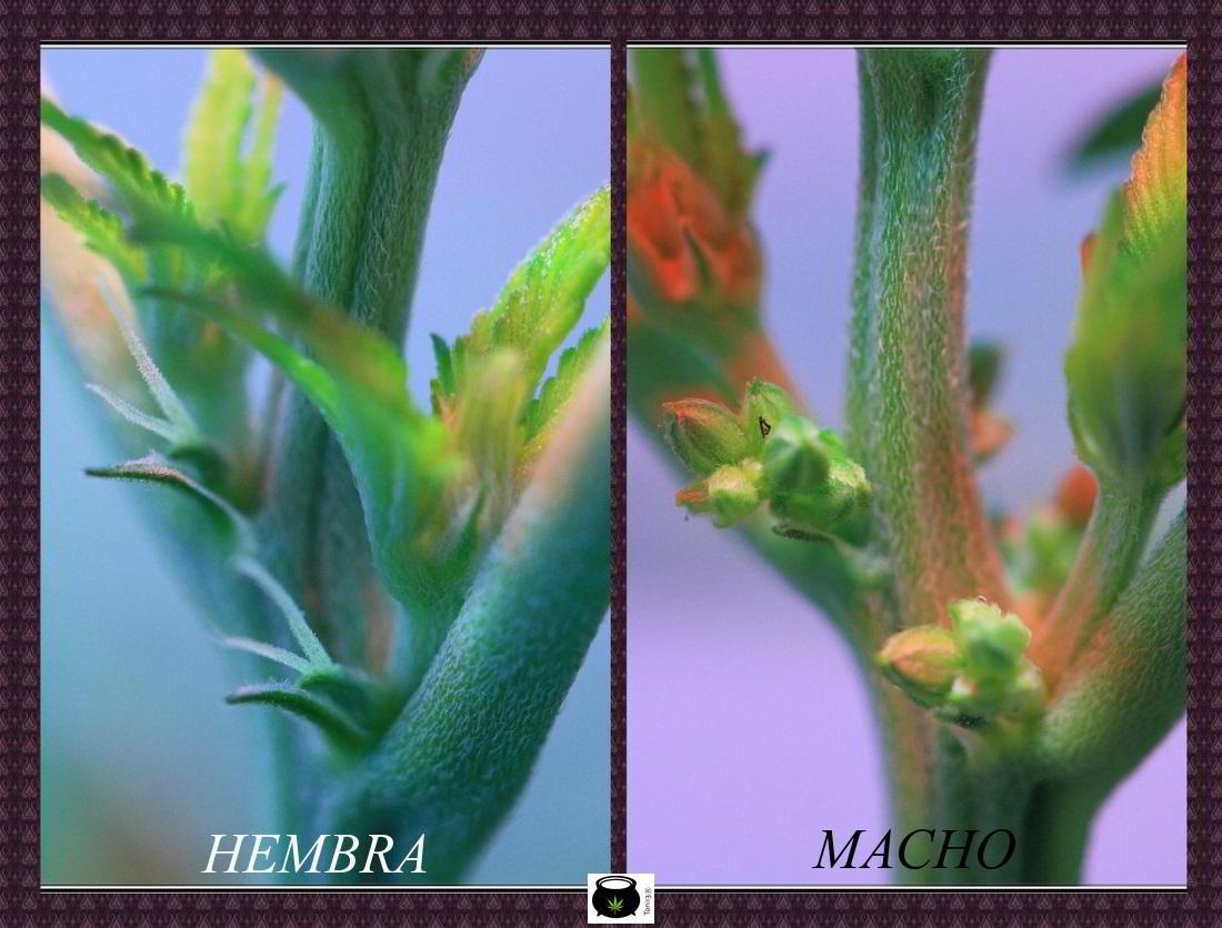 Planta de cannabis macho y hembra