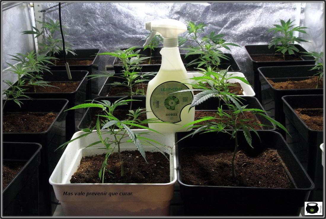 leaf coat biobizz uso en plantas de marihuana