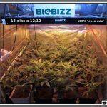 6- Actualización general del cultivo de marihuana, 13 días a 12/12