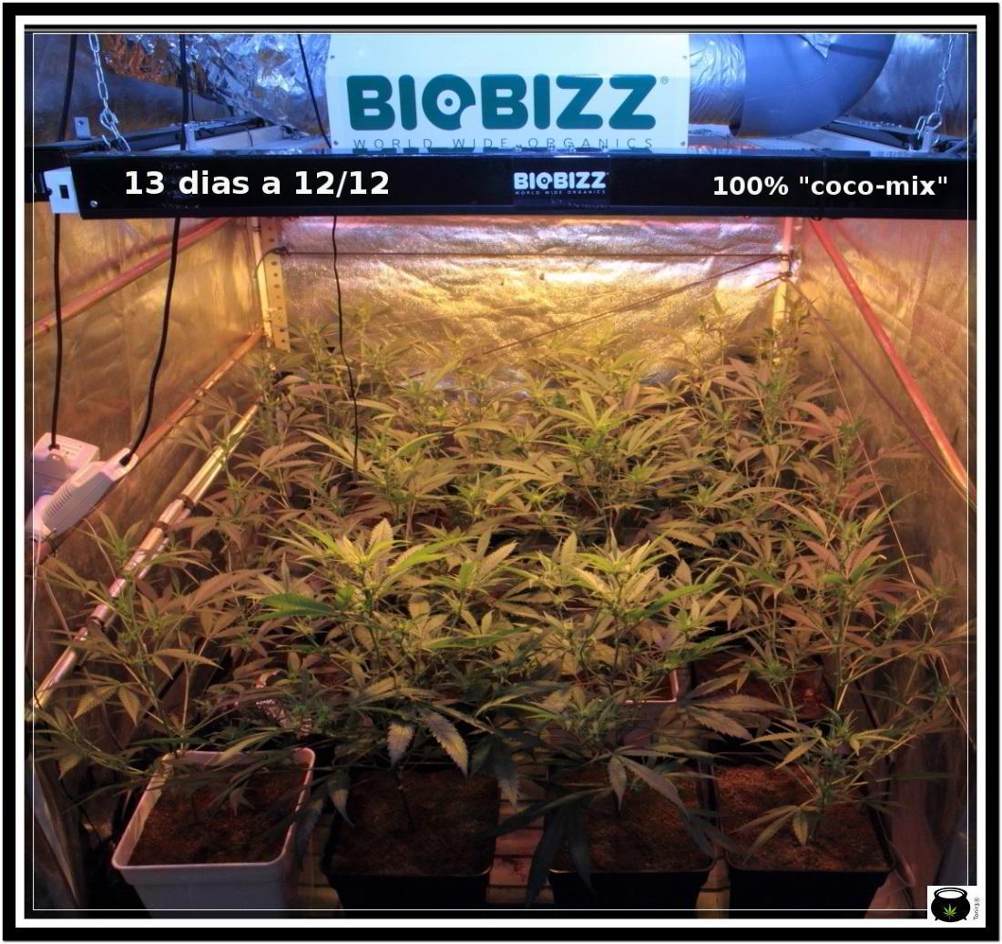 6- Actualización general del cultivo de marihuana, 13 días a 12/12 1